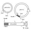 DNA vaccines against hepatitis C